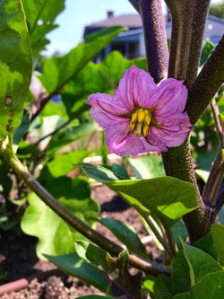 The beauty of egg plant blooming!