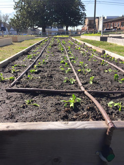 First veggies 2016