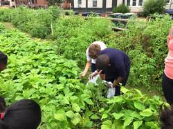 picking greenbeans2.jpg
