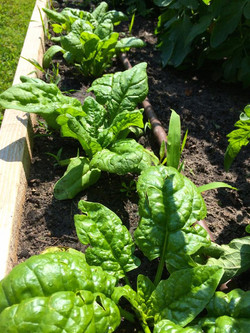 6/9 Spinach is ready