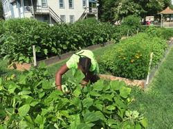 Picking green bean