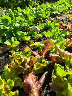 More Lettuce