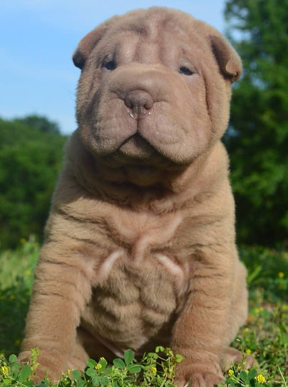 Chinese Sharpei_edited.jpg