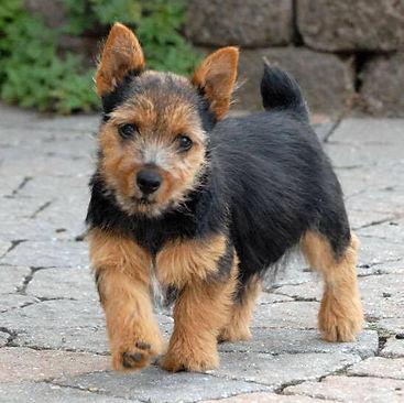Elfin Norwich Terrier