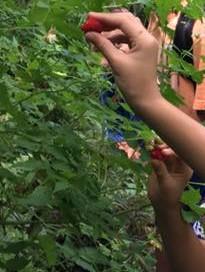 Rasberries from Moorea