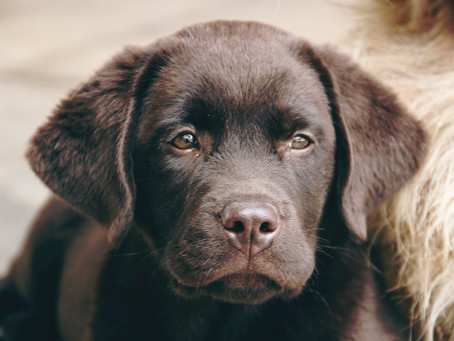 How Much Should I Feed my Labrador Puppy?