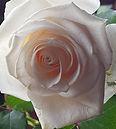 Rose Peach (2).jpg