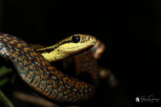 Liopholidophis sp.