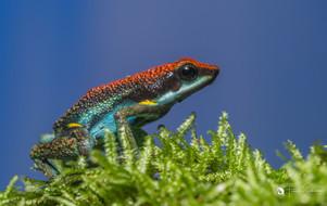 Equadorian poison dart frog