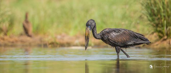 Openbek stork