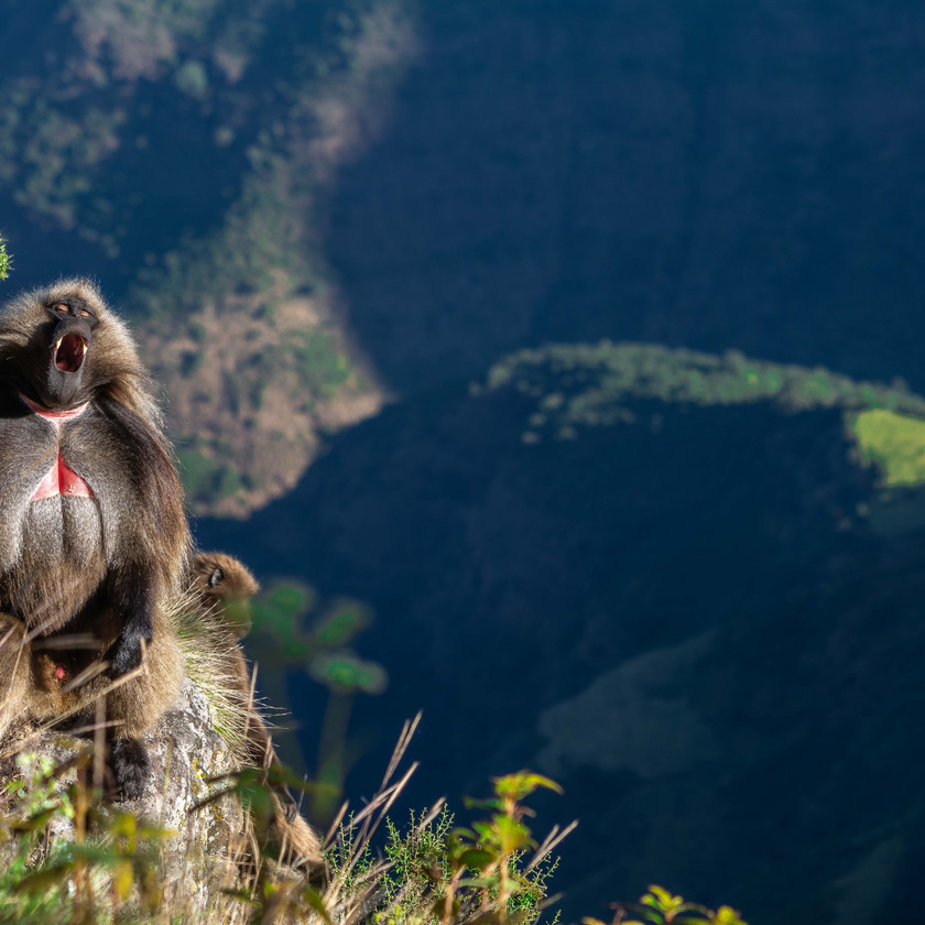 Geladas sunning themselves on the cliff face