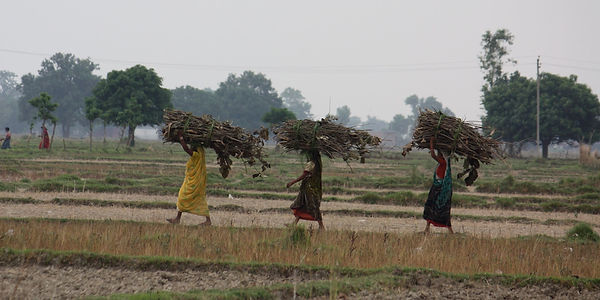 Nepali women carrying large bundles of sticks across a field. Bundles are carried on their heads.
