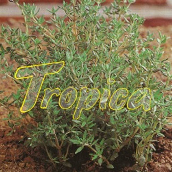 Thyme Ordinary