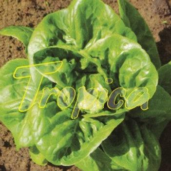Lettuce Sucrine