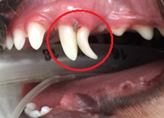 乳歯遺残 小型犬 歯周病