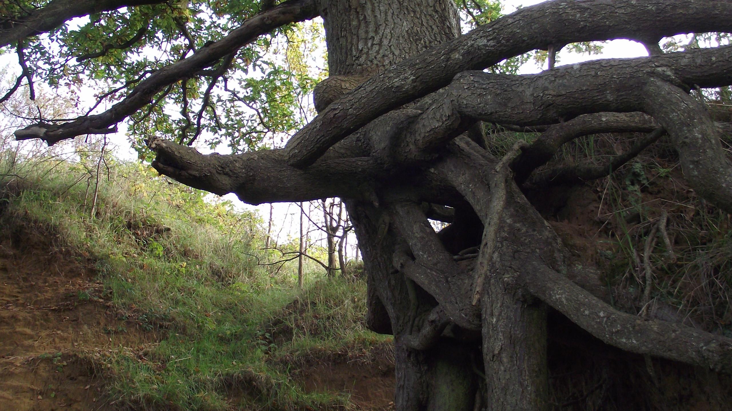 Oak Tree - Sandy
