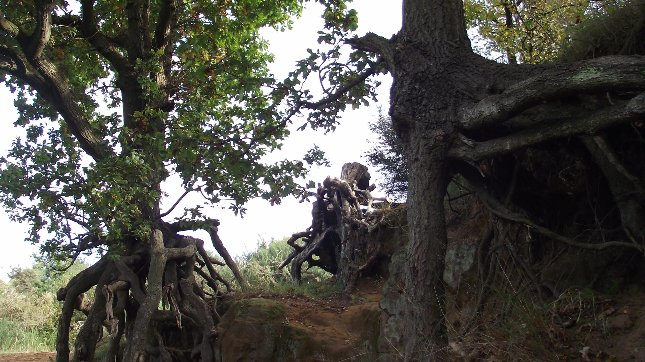 Oak Trees - Sandy