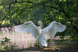 swan-341327_1920.jpg