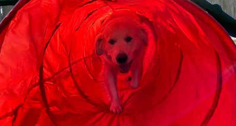 Cream Golden Retreiver Doggy Daycare and Petcare