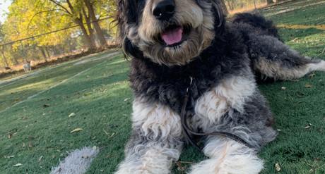 Berna Doodle, Berniese Mountain Dog Poodle Pet Care Services In Oklahoma