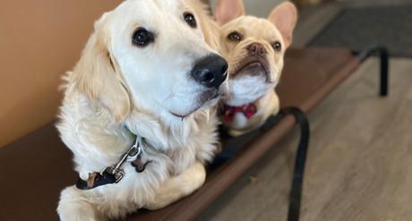 Cream Golden Retriever And French Bull Dog Training