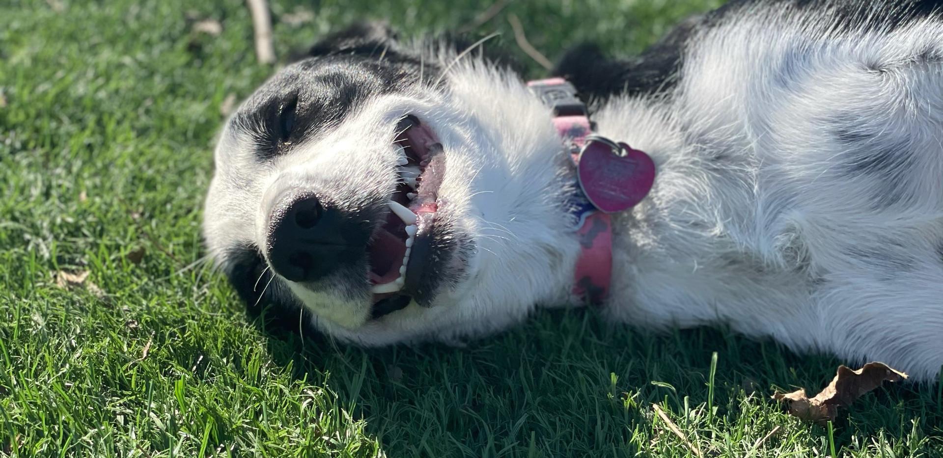 Australian shepherd - Tulsa Oklahoma Pet