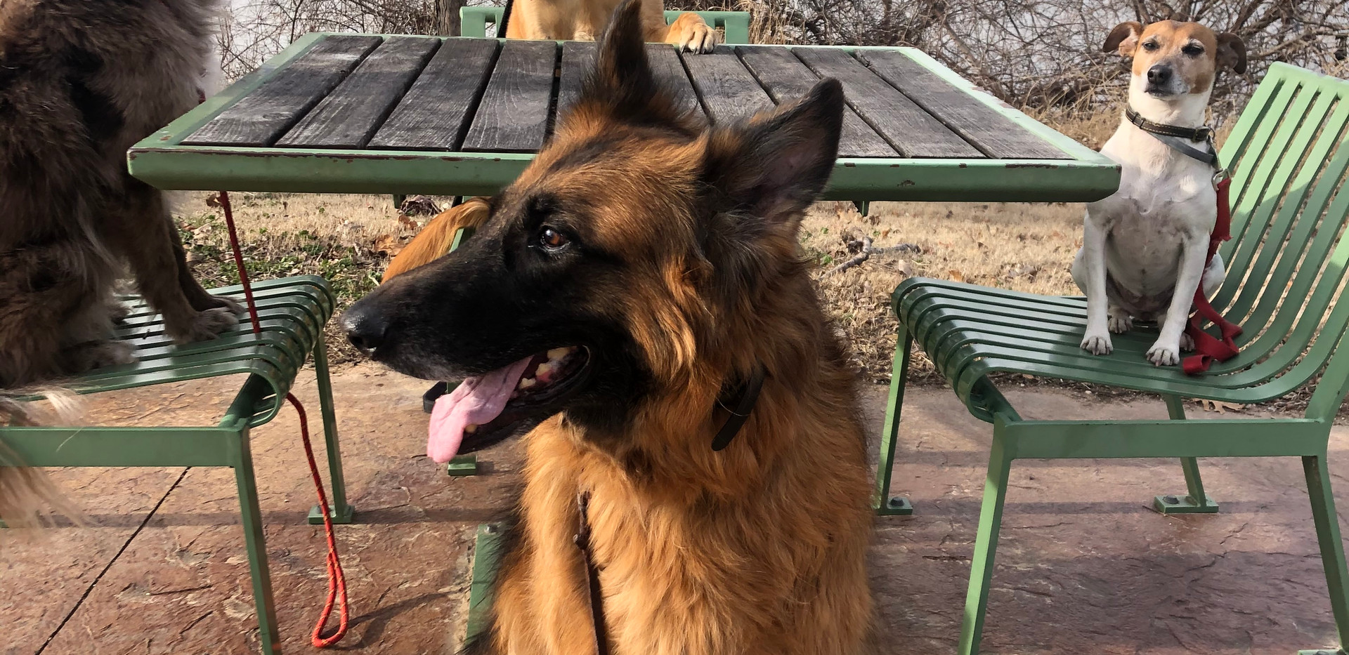 Belgian German Shepards Mental and Physical Exercises During Daycare In Oklahoma