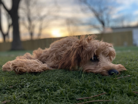 Grace - Cavapoo - Two Week Boarding and Training - A Peaceful Pack Dog Training in Tulsa Oklahoma