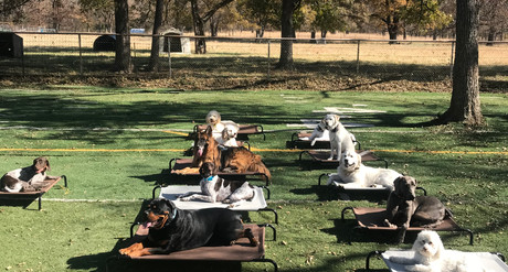 Rottweiler, Golden Doodle, Doggy Daycare Exercises In Skiatook