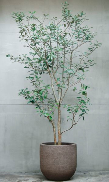Eucalyptusträd Inreda Uteplatsen