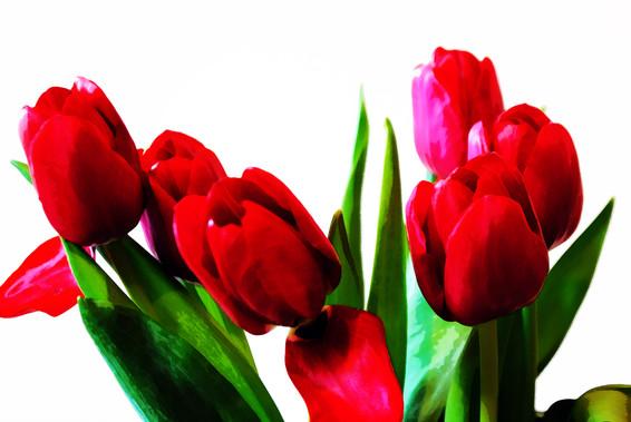 La beauté des tulipes