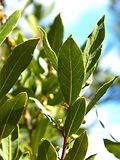 MaxPixel.net-Tree-Spices-Laurel-Leaves-1