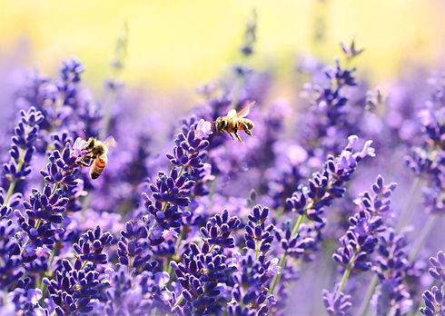 Lavender_CC_edited.jpg