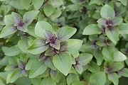 Tulsi Holy Basil purple leaves herb plant - Ocimum sanctum ct eugenol essential oil