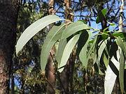 Eucalyptus tree branch leaves - Eucalyptus globulus essential oil