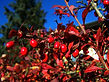Sorrel-Barberries-Red-Berries-Fall-Harve