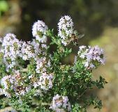 Thyme linalool herb plant flowers leaves honey bee - Thymus vulgaris ct. linalool essential oil