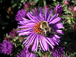 Bumble Bee sucking nectar from a purple aster flower