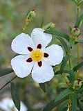 Rock Rose plant flower leaves - Cistus ladanifer essential oil