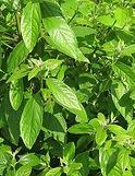 Sugandha Kokila plant leaves - Cinnamomum glaucesens essential oil