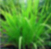 cymbopogon_martinii.png