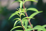 Lemongrass herb plant leaves - Cymbopogon citratus essential oil