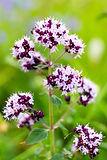 Sweet Marjoram plant flowers leaves - Origanum majorana essential oil