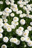 Chamomile Roman plant flowers leaves - Chamaemelum nobile essential oil