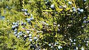 Cedarwood plant tree branch leaves berries - Juniperus viginiana essential oil
