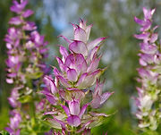 Clary Sage plant flowers leaves - Salvia sclarea essential oil