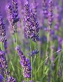 Spike Lavender plant flowers leaves - Lavandula latifolia essential oil