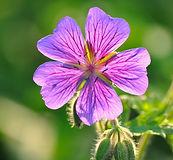 Geranium plant flower leaves - Pelargonium graveolens var roseum essential oil