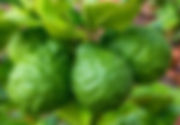 Bergamot plant tree citrus fruit leaves - Citrus bergamia essential oil