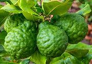 Bergamot plant tree citrus fruit leaves - Citrus bergamia essential oil